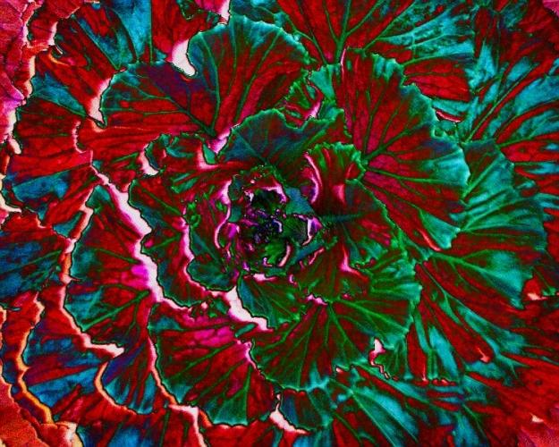 Cabbage: Solarized