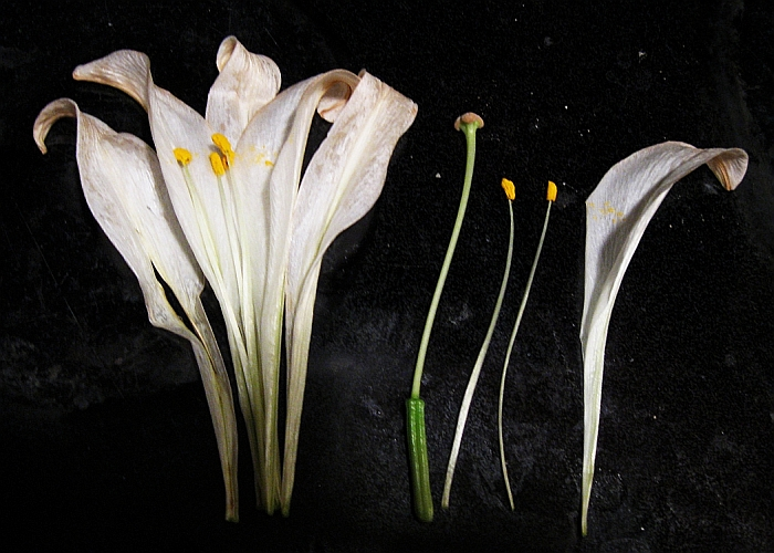 Deconstructed Lily